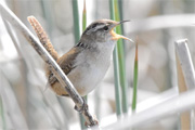 Marsh Wren by George Gibbs