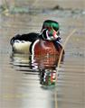 Wood Duck by Robert Keiffer